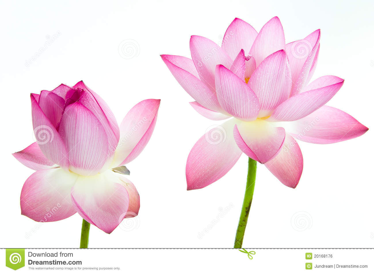 Pink Lotus Flower And White Background. Royalty Free Stock Image.