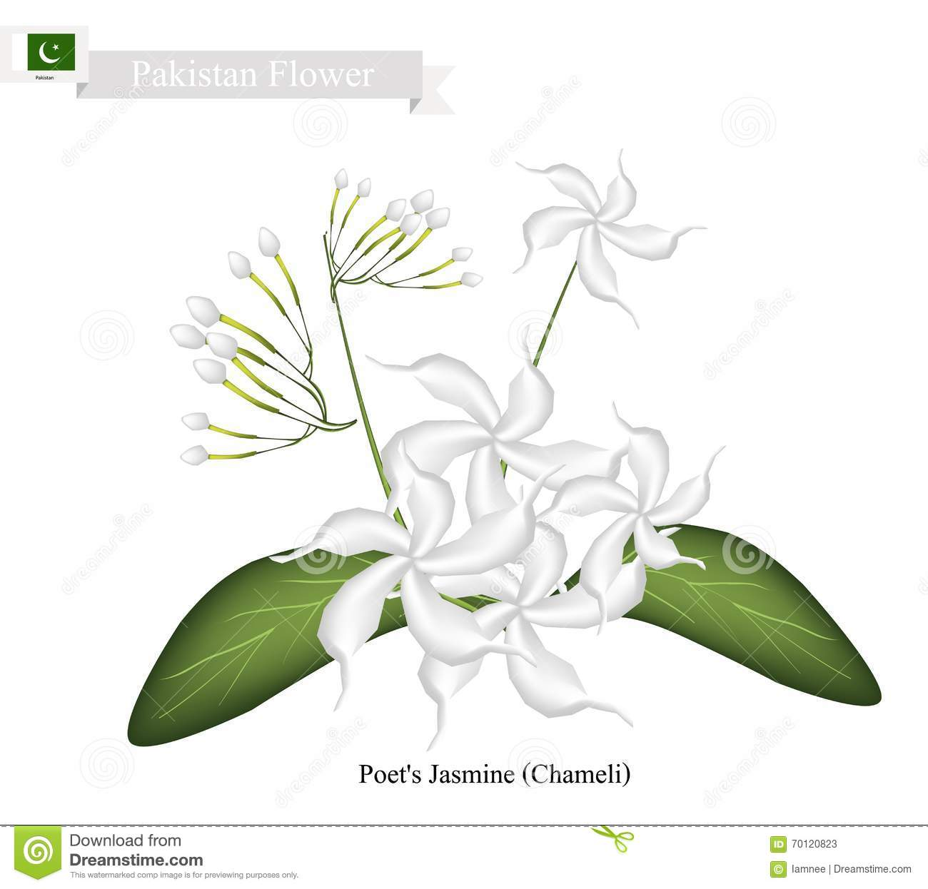 Poet's Jasmine, The National Flower Of Pakistan Stock Vector.