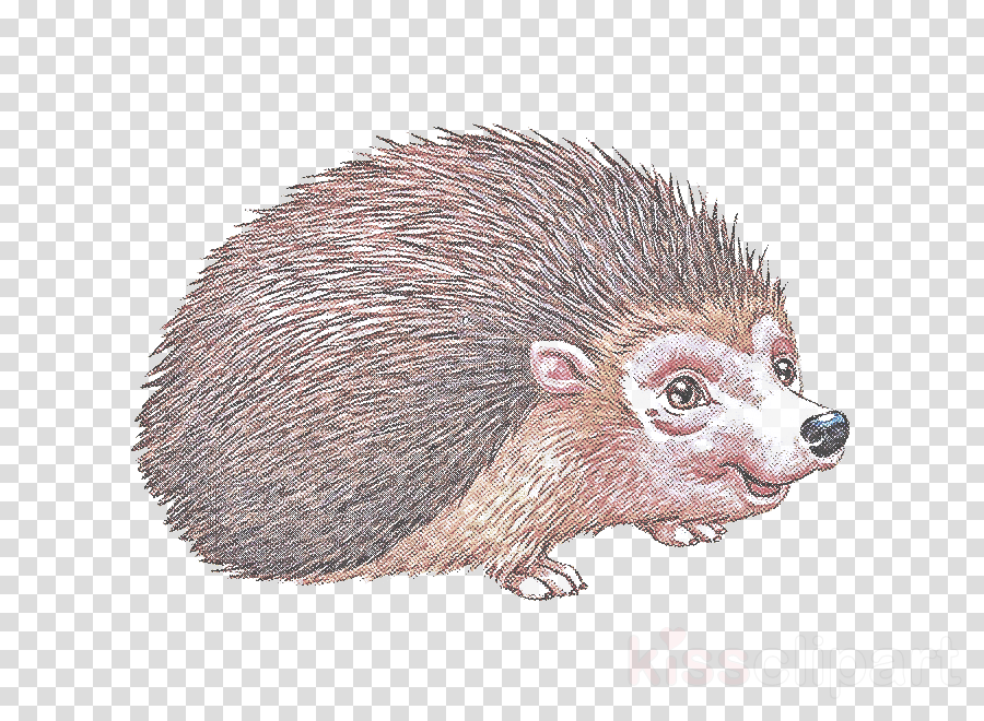 hedgehog new world porcupine porcupine erinaceidae.
