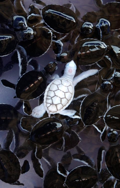 25+ best ideas about Baby Sea Turtles on Pinterest.