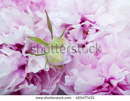Hydrangea Flowers Hydrangea Arborescens Shallow Depth Stock Photo.
