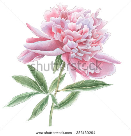 Flower Camelia Drawn By Watercolor Paints Stock Illustration.