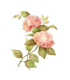 Hydrangea arborescens in Curtis Botanical Magazine.