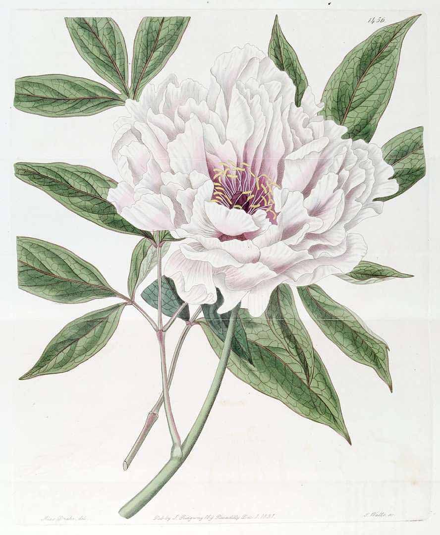 Paeonia suffruticosa Andrews var. carnea plea [as Paeonia moutan.