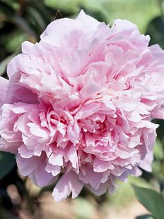 I think I've decided on the Pillow Talk Peony for out front of the.