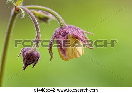 Stock Photo of Geum or Avens flower, a perennial garden plant.