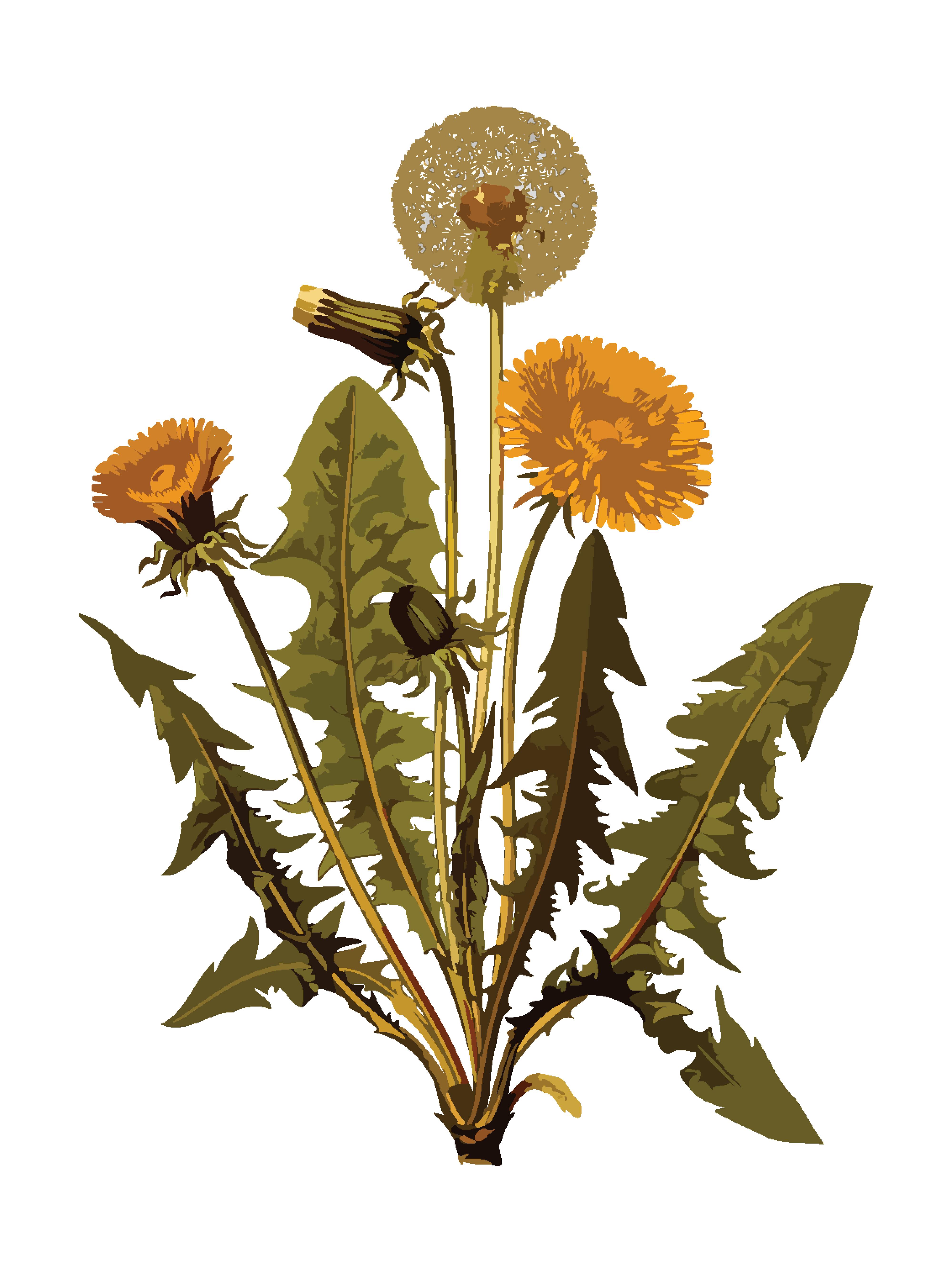 Free Clipart Of A dandelion plant.