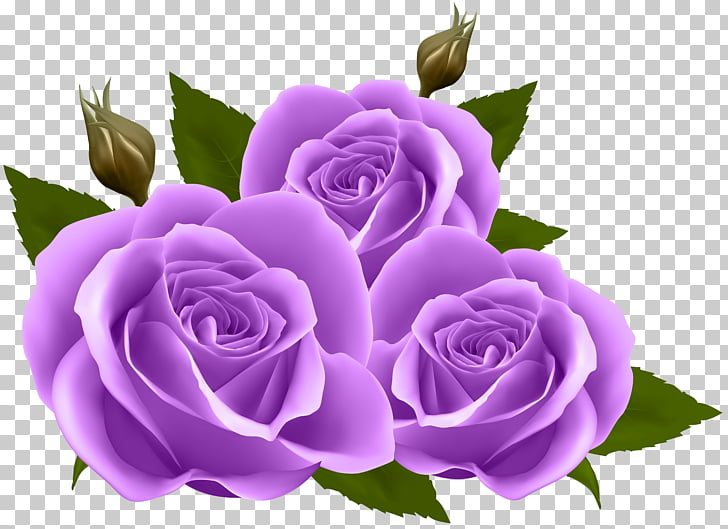 Flower Rose , Purple Roses , purple petaled flower PNG.