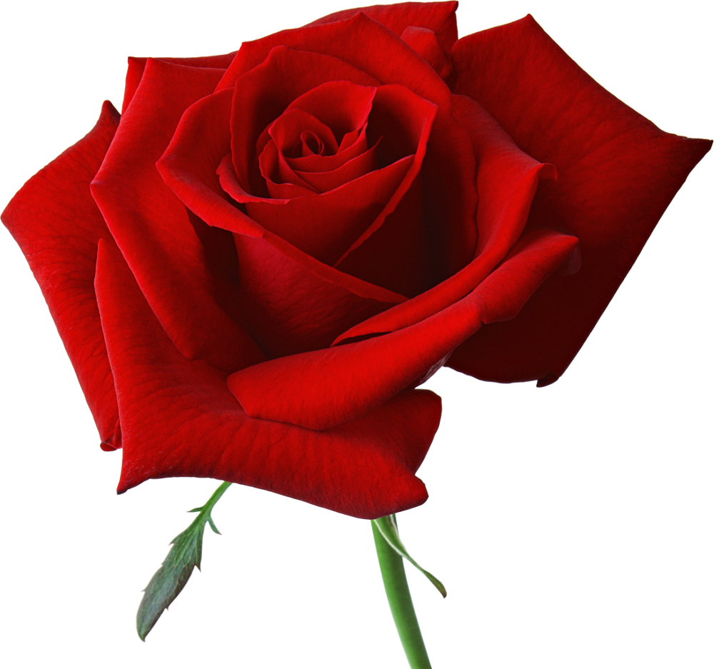 Large_Red_Rose_Clipart.png?m=1366063200.