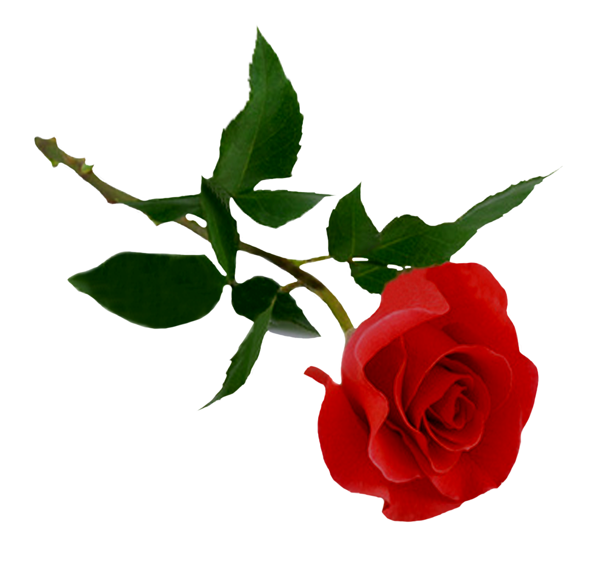Download Rose PNG HD 1.