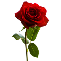 Download Rose Free PNG photo images and clipart.