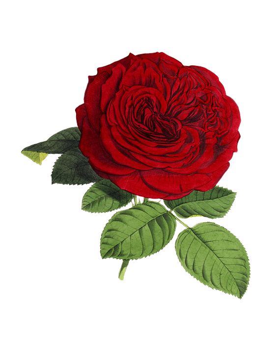 Rose PNG flower images, free download.