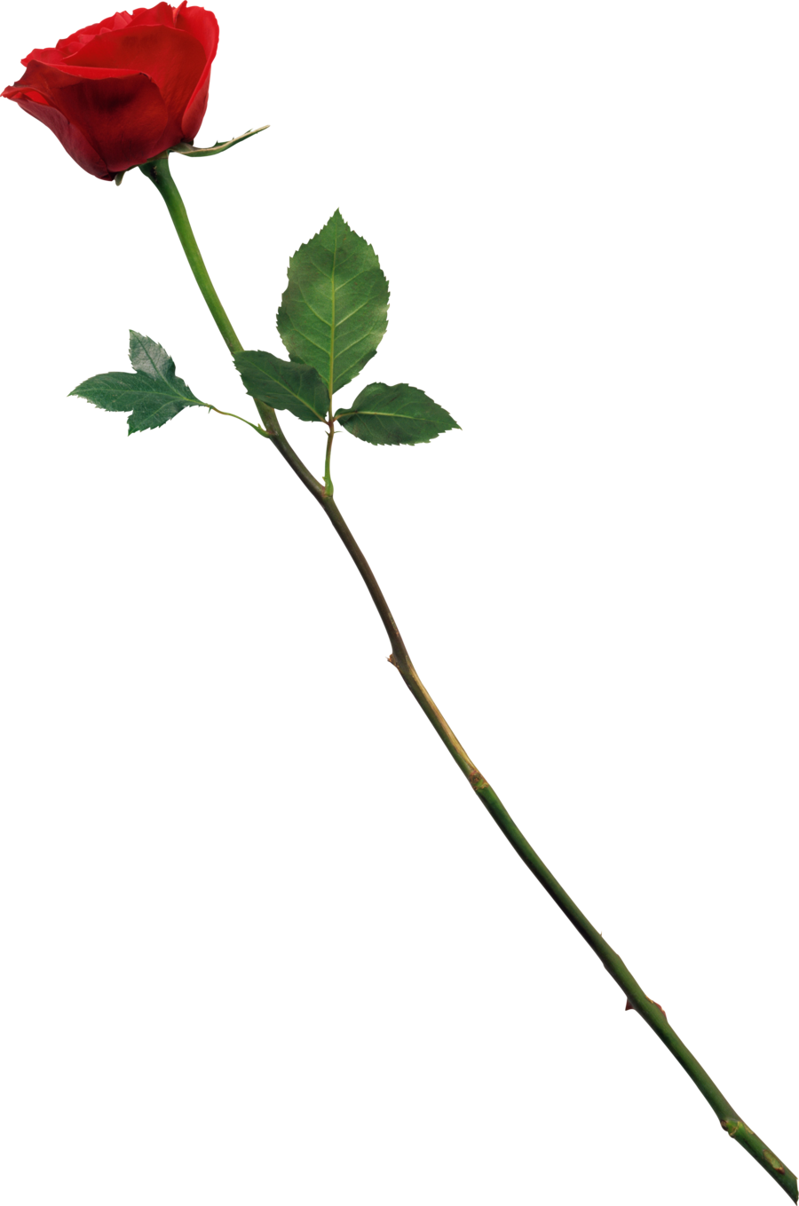 Free Rose Png, Download Free Clip Art, Free Clip Art on Clipart Library.