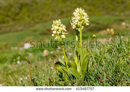 Orchidoideae Stock Photos, Royalty.