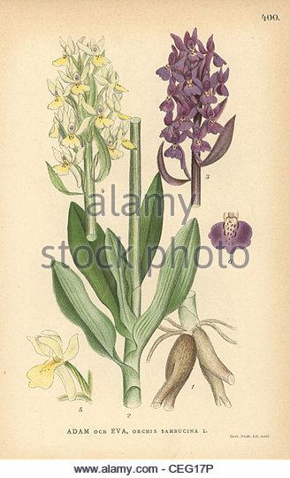 Orchis Sambucina Stock Photos & Orchis Sambucina Stock Images.