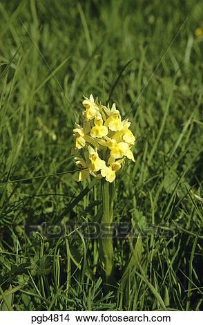 Stock Photo of Orchid. Elder flowered orchid. Dactylorhiza.