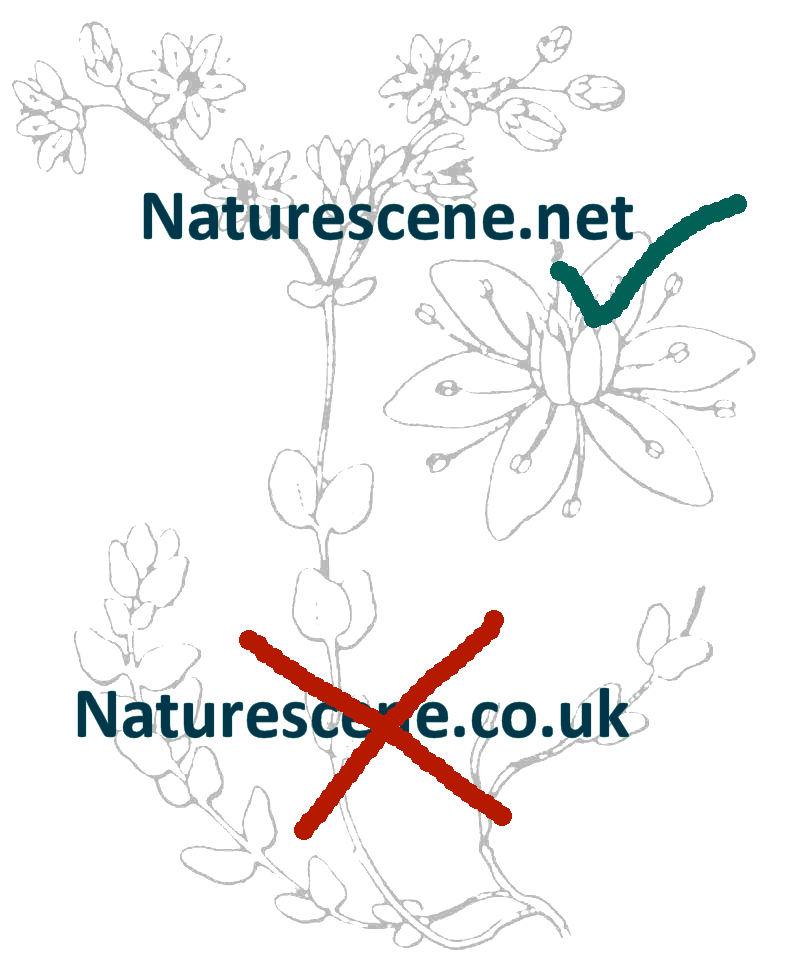 Dactylorhiza sambucina.
