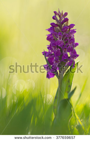 Sambucina Orchid Stock Photos, Images, & Pictures.