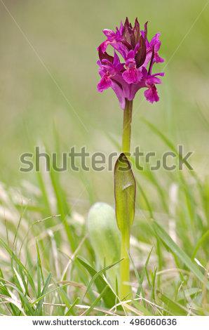 Dactylorhiza Stock Photos, Royalty.