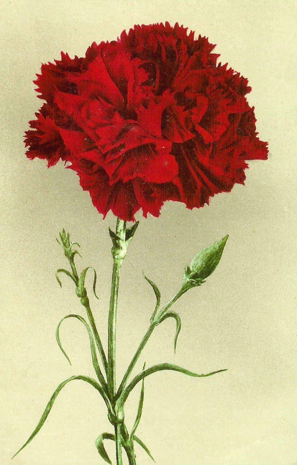 Red carnation..