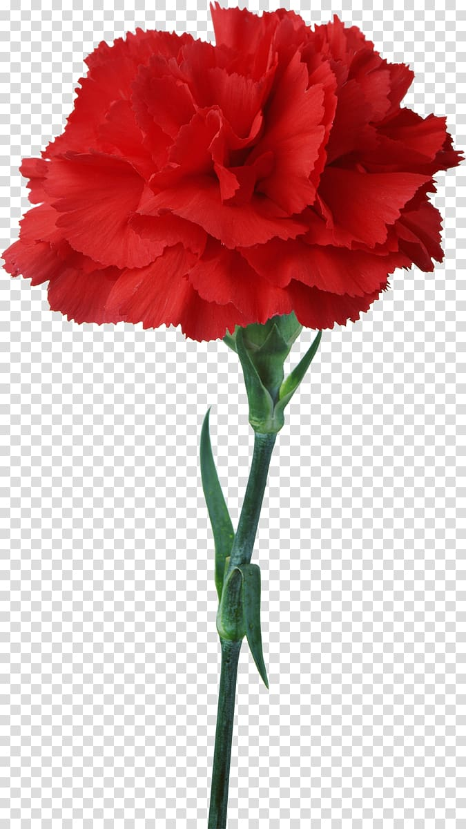 Carnation Flower Floristry Red , pepermint transparent.