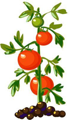 Tomato plant clipart no background.