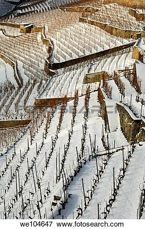 Picture of Terraced vineyards in the UNESCO World Heritage site.