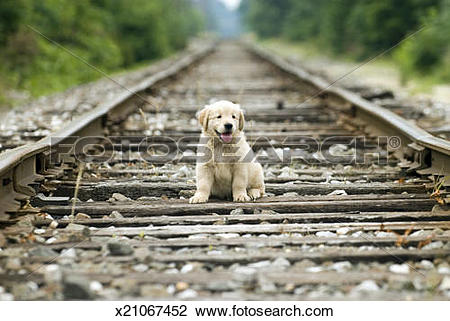 Stock Photo of Golden Retreiver on abandoned railroad track.