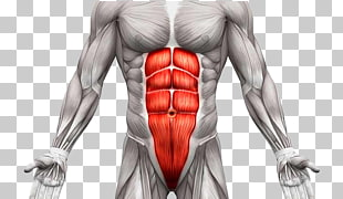 22 transverse Abdominal Muscle PNG cliparts for free.