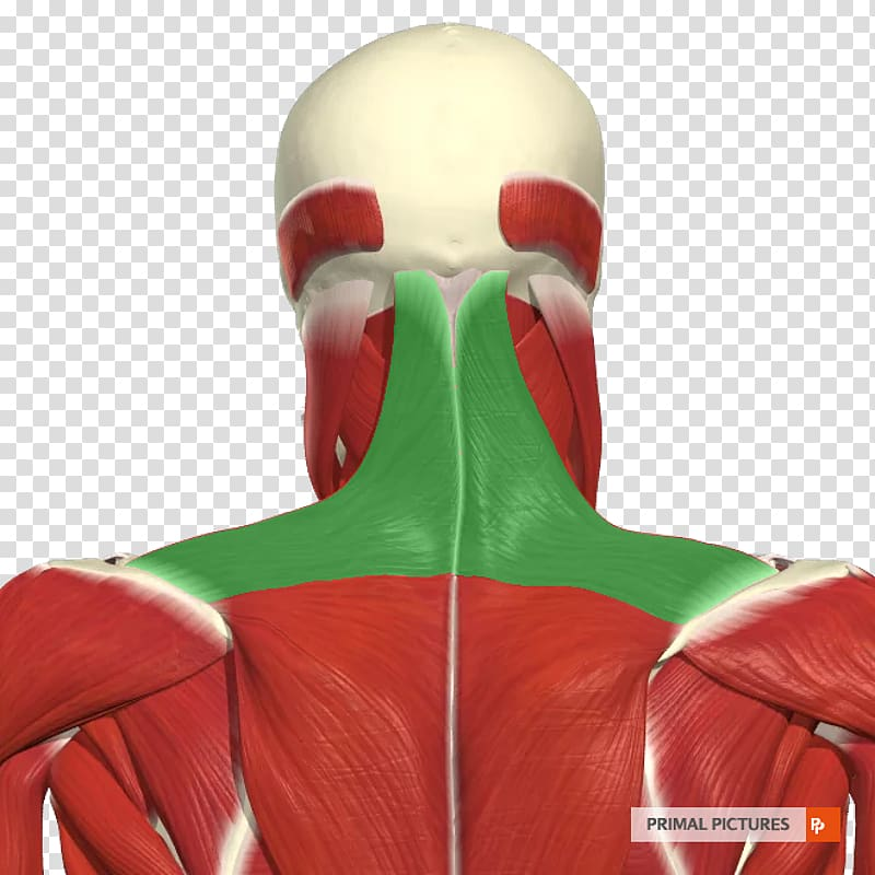 Internal intercostal muscles Human lung Pleural cavity.