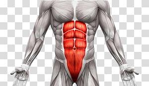 Rectus abdominis muscle Abdomen Anatomy Human body Abdominal.