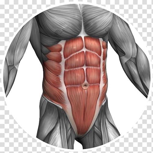 Pectoralis major muscle Abdomen Rectus abdominis muscle.