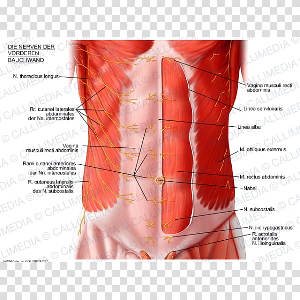 Abdominal wall Rectus abdominis muscle Abdominal external.