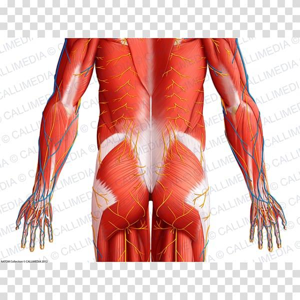 Thorax Pelvis Muscle Abdomen Arm, arm transparent background.