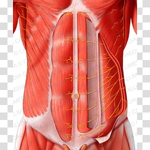 Transverse Abdominal Muscle transparent background PNG.