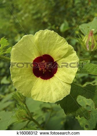 Stock Photo of Flower of Abelmoschus manihot (L.) k16008312.