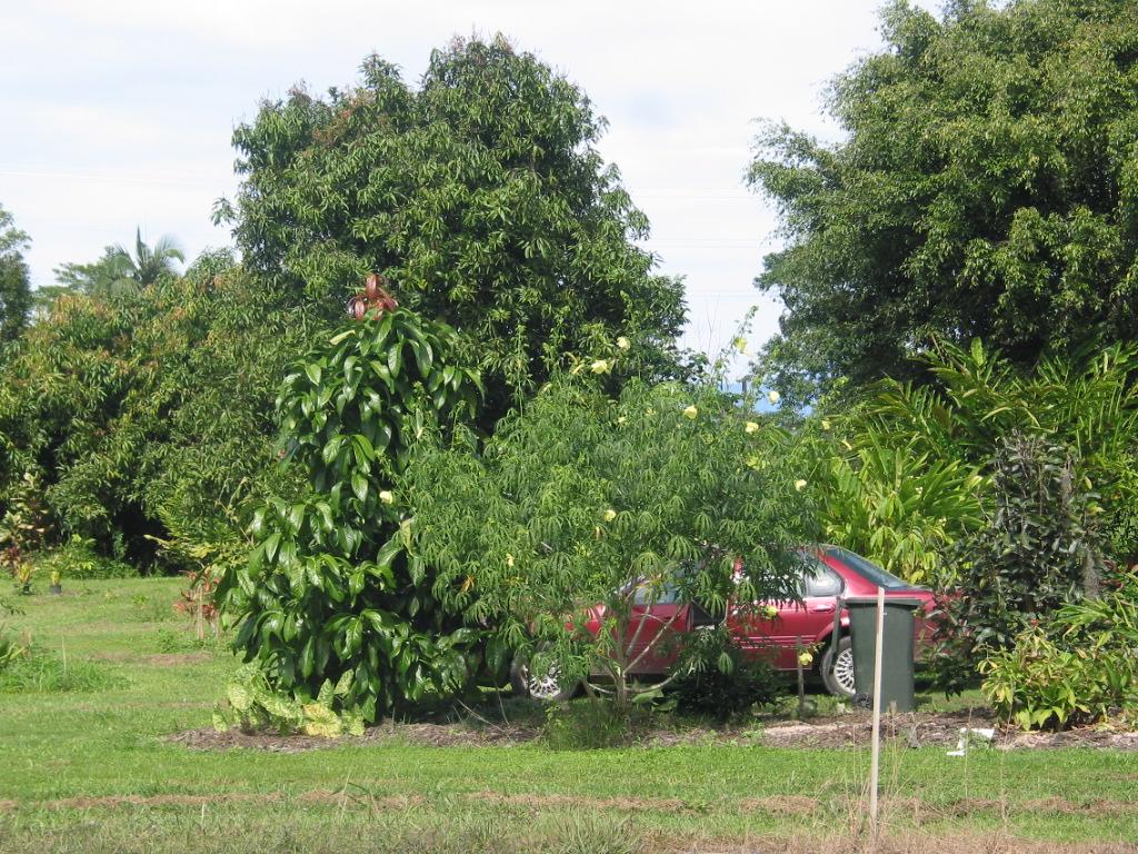 Toona sinensis (syn. Cedrela sinensis) flamingo tree. deciduous.