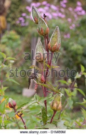 Abelmoschus Stock Photos & Abelmoschus Stock Images.