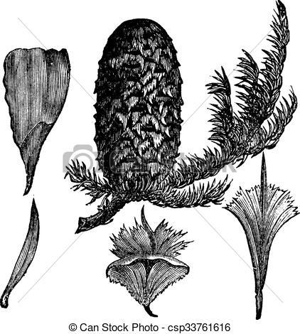 Vector Clip Art of Noble Fir or Abies procera vintage engraving.