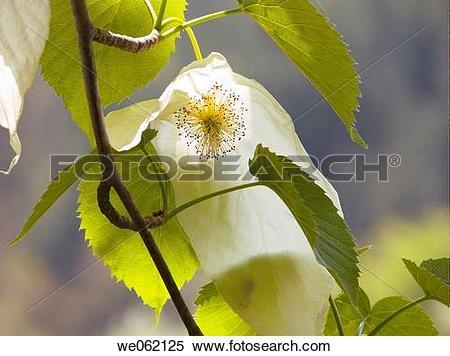 Stock Image of Dove tree (Davidia involucrata) at Arboretum d.
