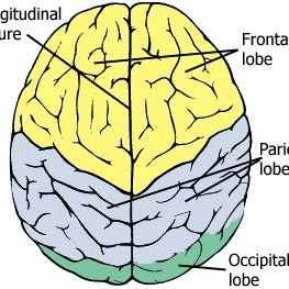 Topology of Brain Top View.