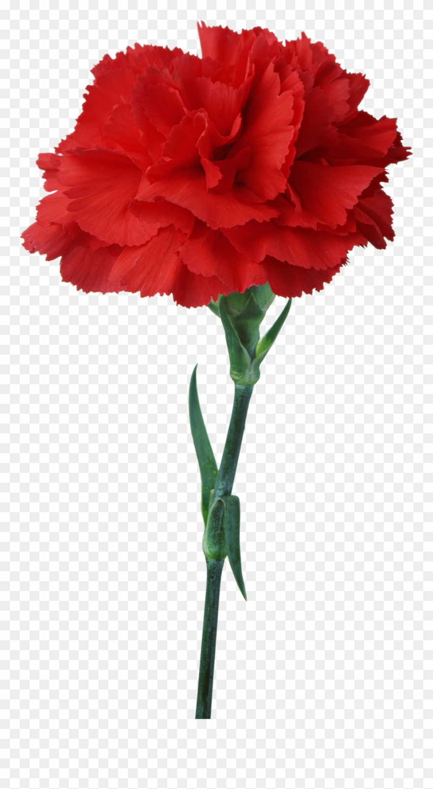 Carnation Flower Red Floristry Clip Art.