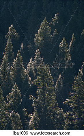 Stock Images of Snow frosted spruce/pine forest in the Gallatin.