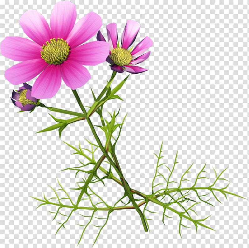 Chrysanthemum indicum Cosmos bipinnatus , Beautiful flowers.