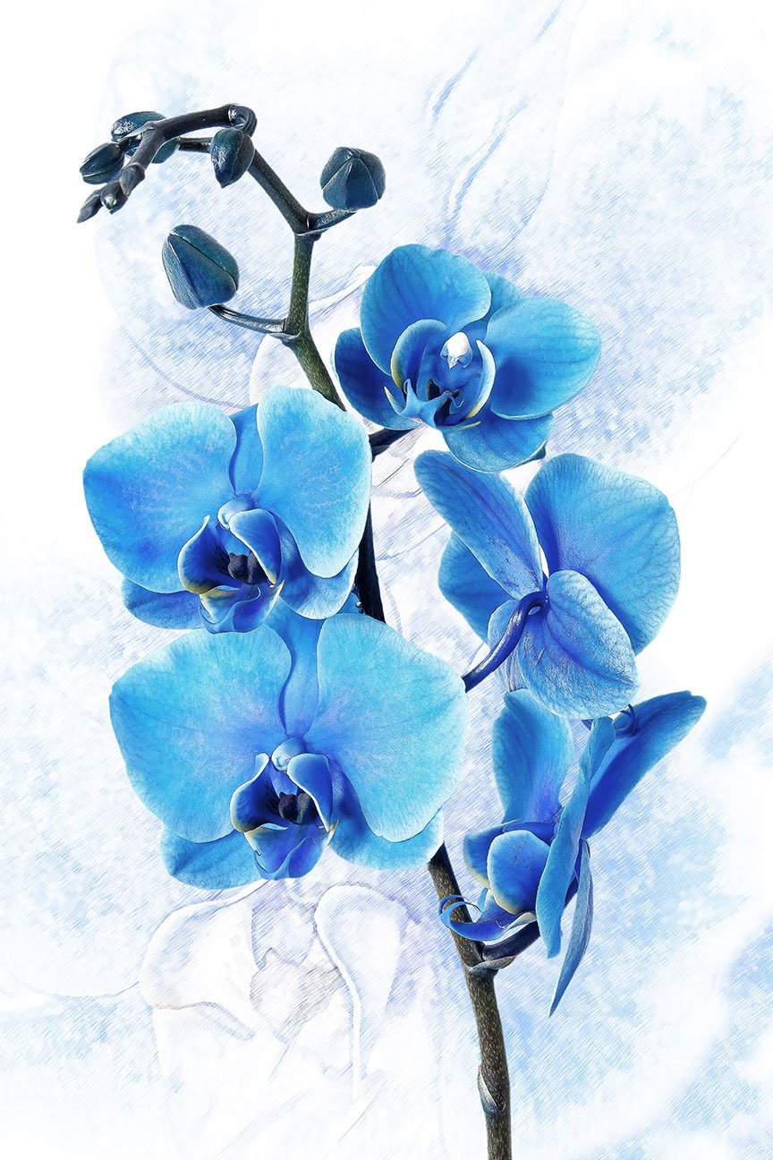 Blue Orchid on White Background.
