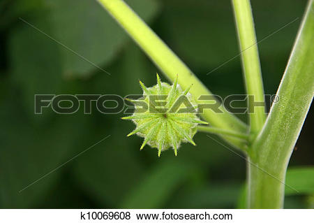 Stock Illustration of abutilon k10069608.