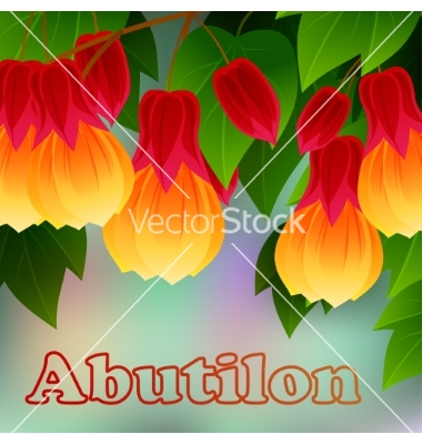 Red vein chinese lantern abutilon pictum with vector by Adamchuk.
