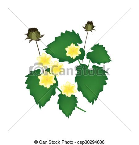 Vector Clipart of Abutilon Indicum Flower or Indian Mallow Flower.