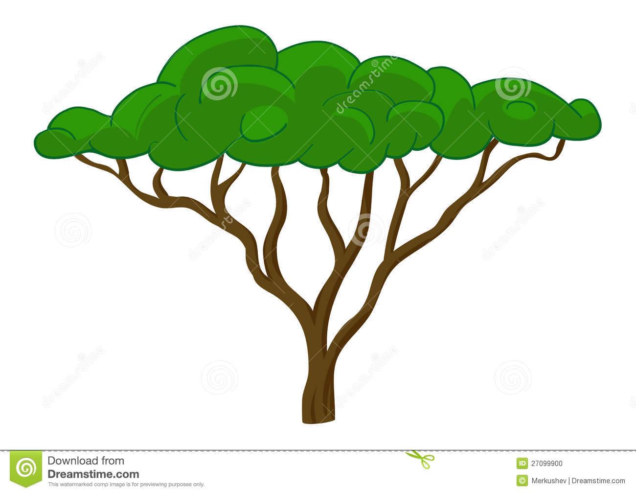 Acacia clipart #14