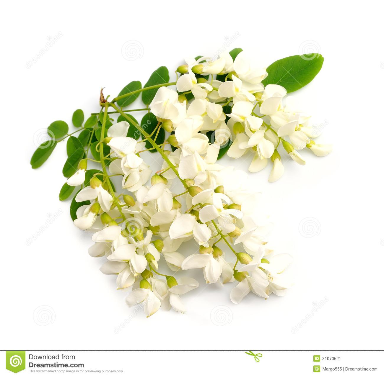 Acacia Flowers Royalty Free Stock Image.